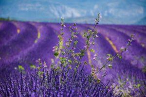 Lavendel in Frankrijk